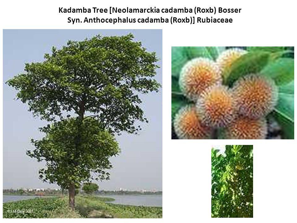 Kadamba Tree [Neolamarckia cadamba (Roxb) Bosser Syn
